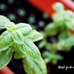 hierbas-aromaticas-albahaca