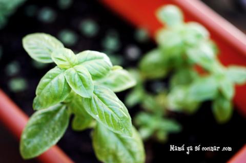 albahaca - hierbas aromaticas
